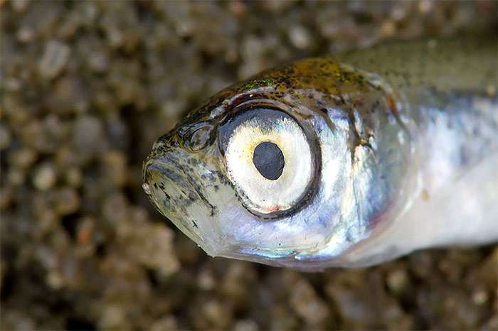 Рыба верхоплавка: фото и описание, отличие от уклейки, на что ловить
