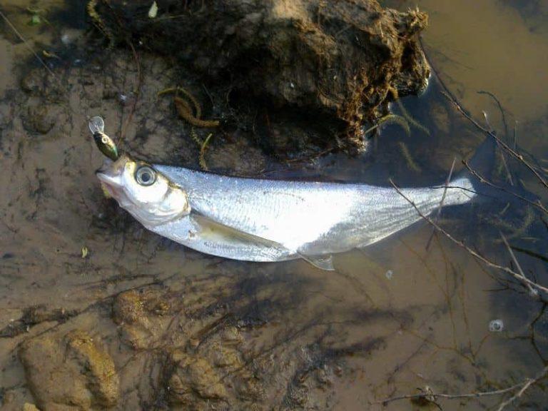 Где водится рыба чехонь, как выглядит и как ее поймать зимой, весной и летом