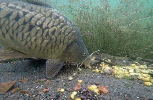 Кукуруза для рыбалки: приготовление, как варить, насаживать и ловить на зерна