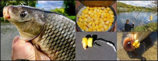 Ловля сазана и карпа на кукурузу: монтаж снасти, как приготовить зерна