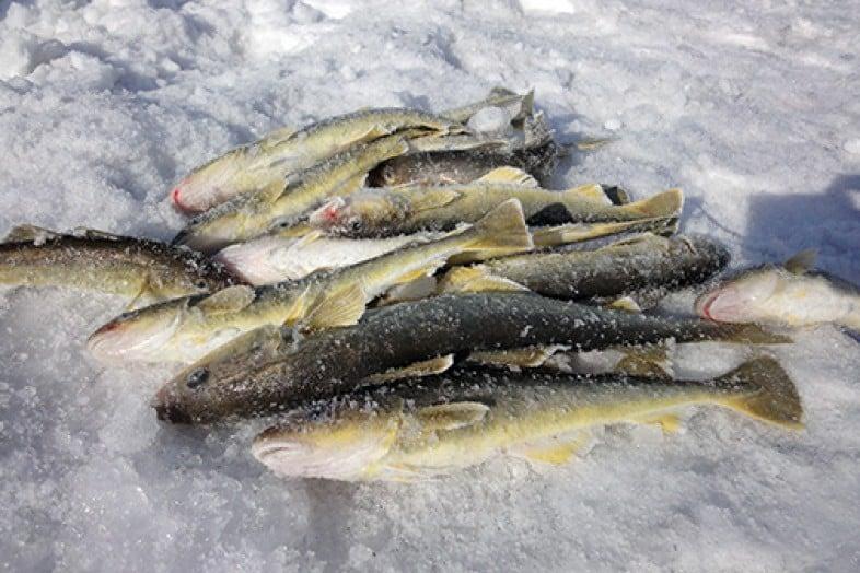 Где обитает и чем полезна рыба навага, рецепты приготовления