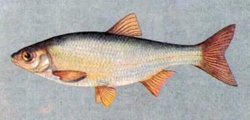 Елец (рыба): описание и фото. Зимняя рыбалка на ельца