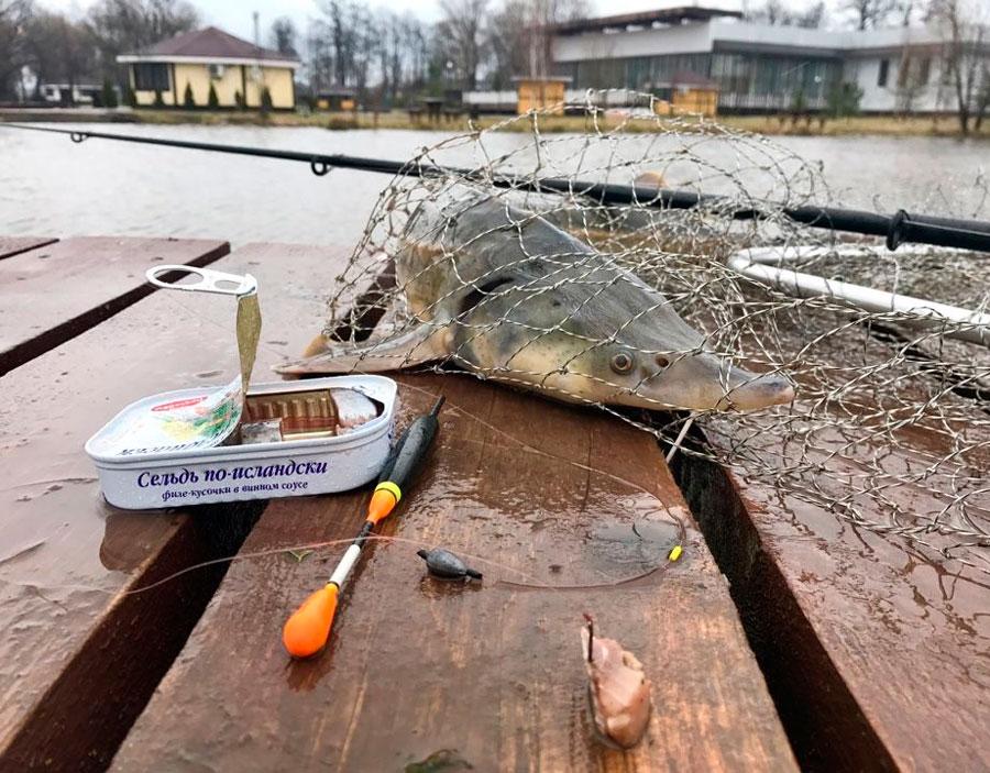 Как выглядит рыба стерлядка: описание с фото, как вкусно приготовить