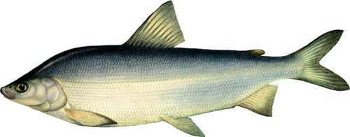 Сиговые рыбы: описание семейства с фото, где водится и как ловится