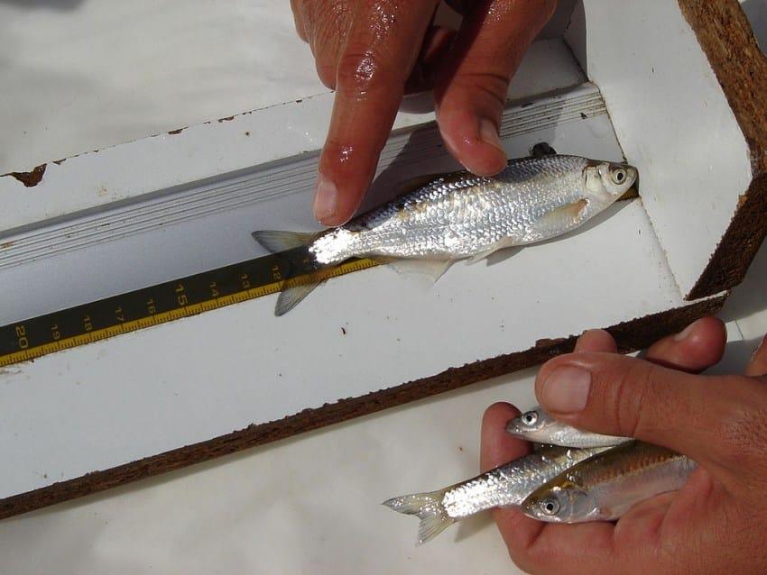 Рыба уклейка: фото и описание, где водится и как ловится себель