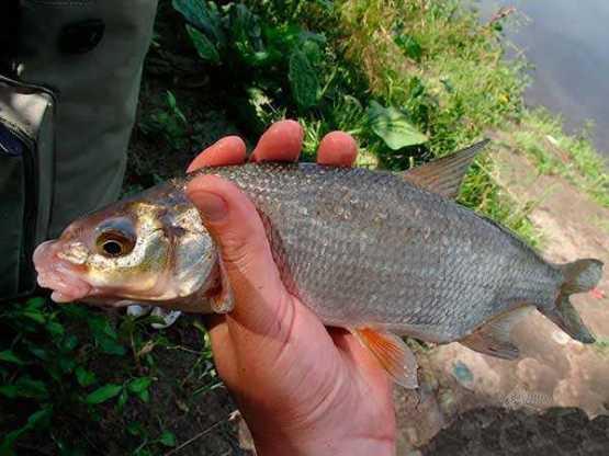 Рыба шемая: фото и описание, где водится, вкусовые качества