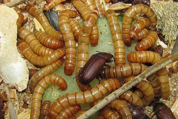 Мучной червь для рыбалки: разведение, хранение и использование хрущака