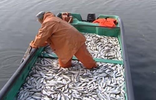 Как выглядит рыба пелядь: фото и описание, как поймать и приготовить