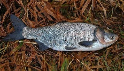 Что за рыба толстолобик, как поймать и как вкусно приготовить рыбу
