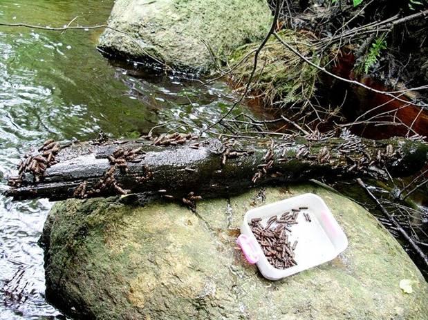 Личинка ручейника для рыбалки: где найти и как добыть