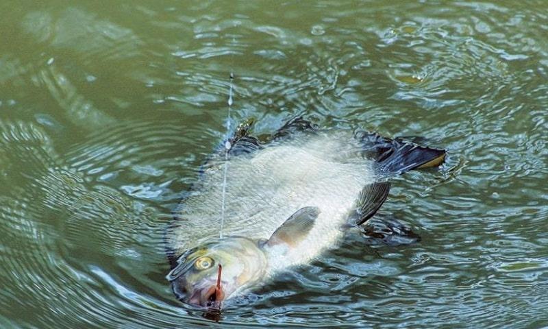 Ловля леща на поплавочную удочку в стоячей воде и на течении