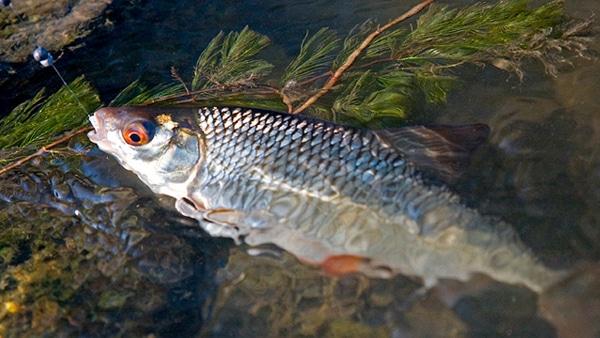 Ловля плотвы на поплавочную удочку: виды оснастки, поиск и тактика рыбалки
