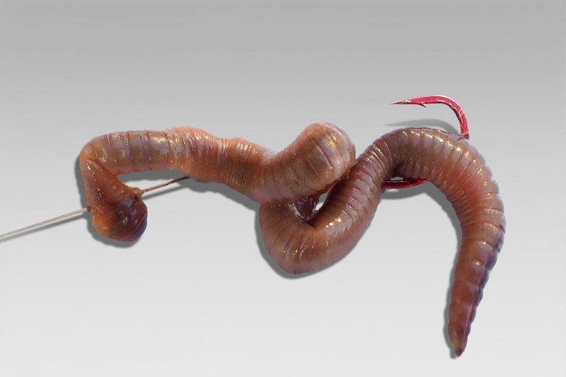 Как правильно насадить червя на крючок - наглядное фото и видео