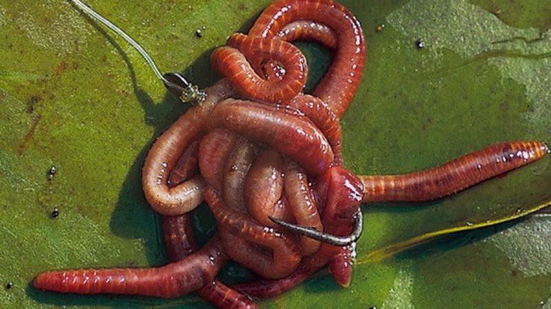 Как развести, сохранить и ароматизировать навозного червя для рыбалки