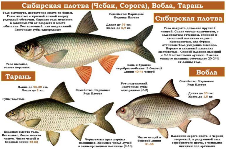 Что за рыба чебак, фото, где обитает и в чем отличие от плотвы