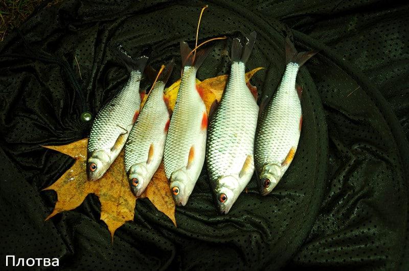 Плотва осенняя, ее повадки и ловля в сентябре, октябре и ноябре
