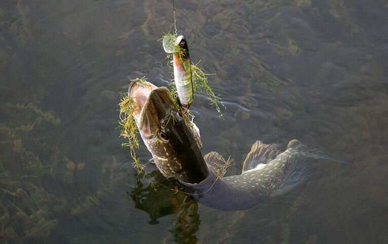 Повадки щуки в сентябре, где ее искать и на что ловить